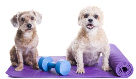 Dogs sitting on a yoga mat, concentrating for excercise and list
